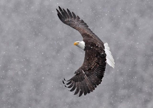 阿拉斯加白头鹰  2_图1-20
