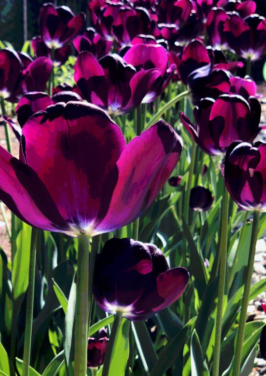【田螺手机摄影】我后院的紫金香也全部开了_图1-2
