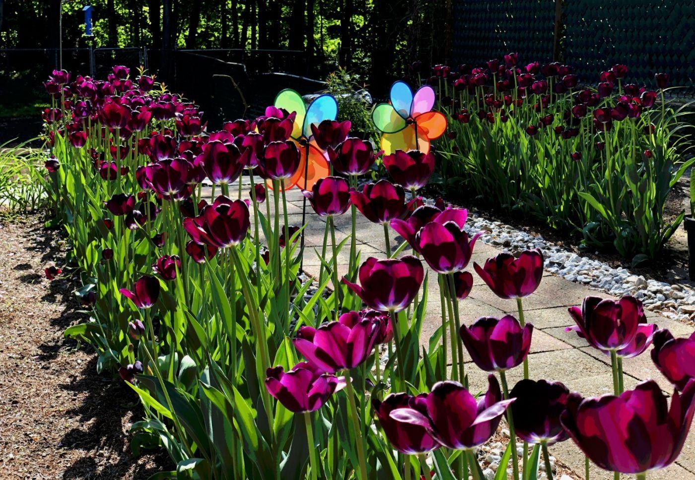 【田螺手机摄影】我后院的紫金香也全部开了_图1-3