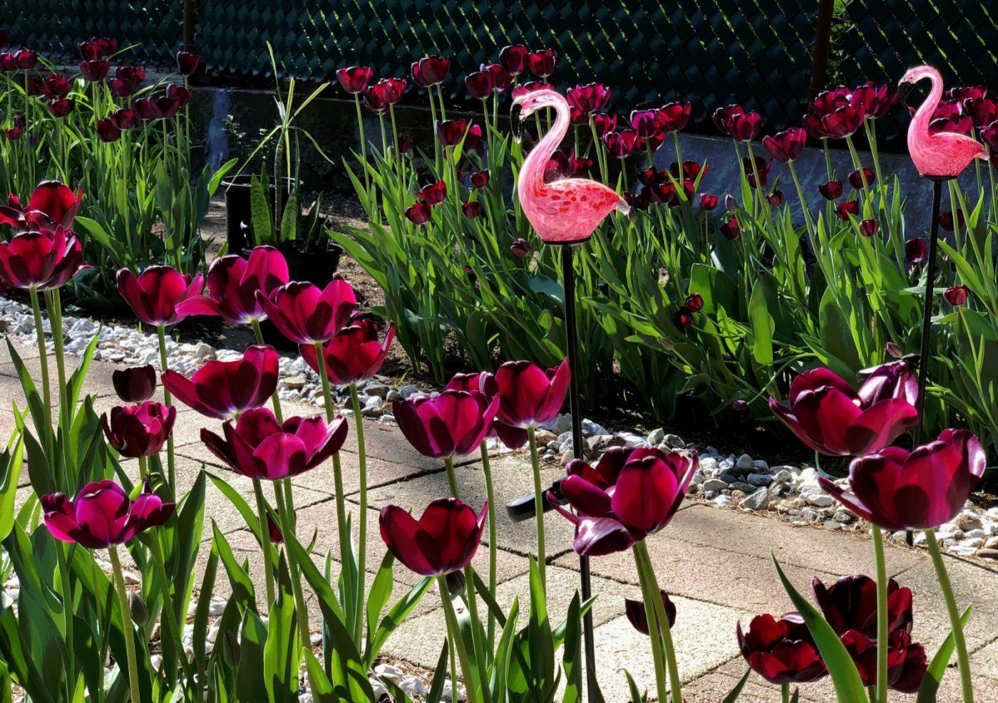 【田螺手机摄影】我后院的紫金香也全部开了_图1-4