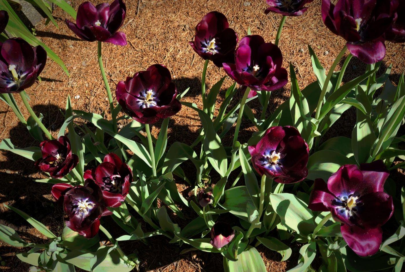 【田螺手机摄影】我后院的紫金香也全部开了_图1-6