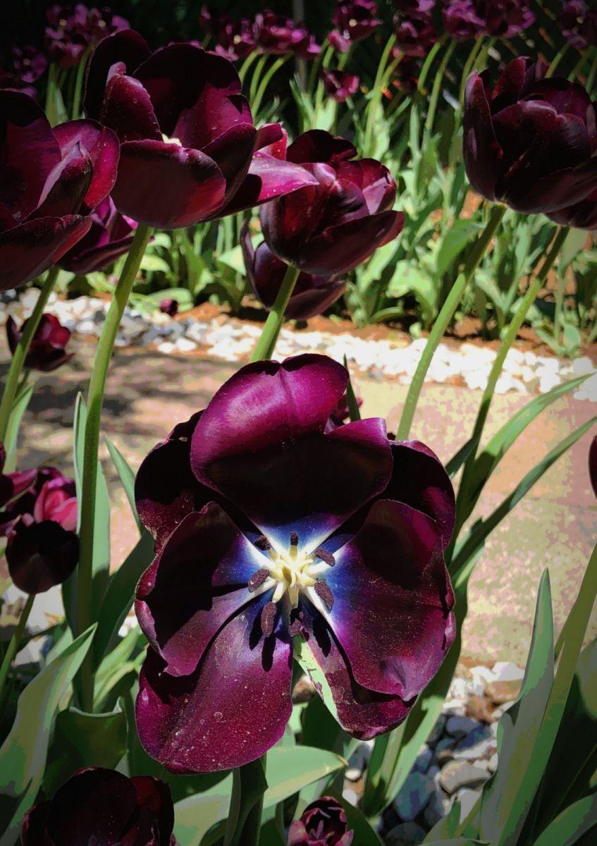 【田螺手机摄影】我后院的紫金香也全部开了_图1-5