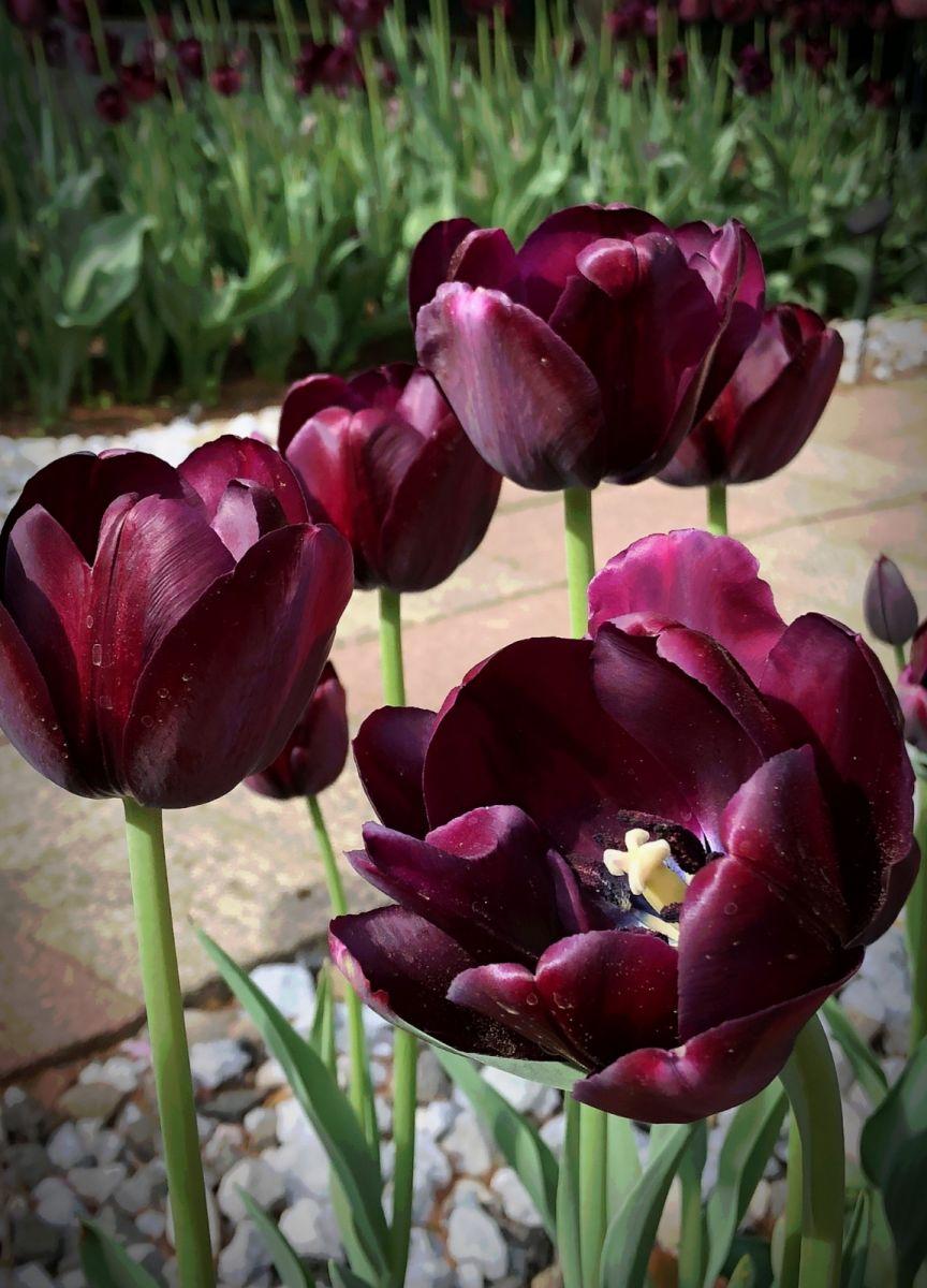 【田螺手机摄影】我后院的紫金香也全部开了_图1-8