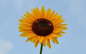 再拍向日葵