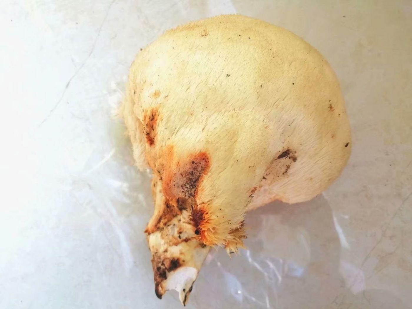 偶遇猴头菇,纯野生的(图)_图1-3