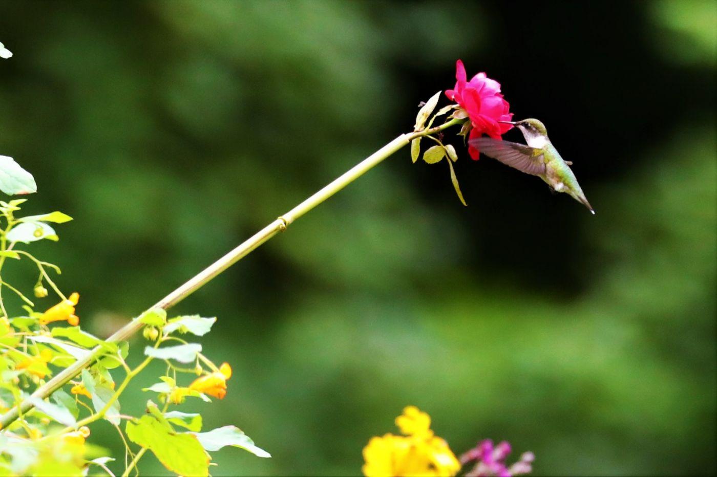 【爱摄影】追拍蜂鸟_图1-2