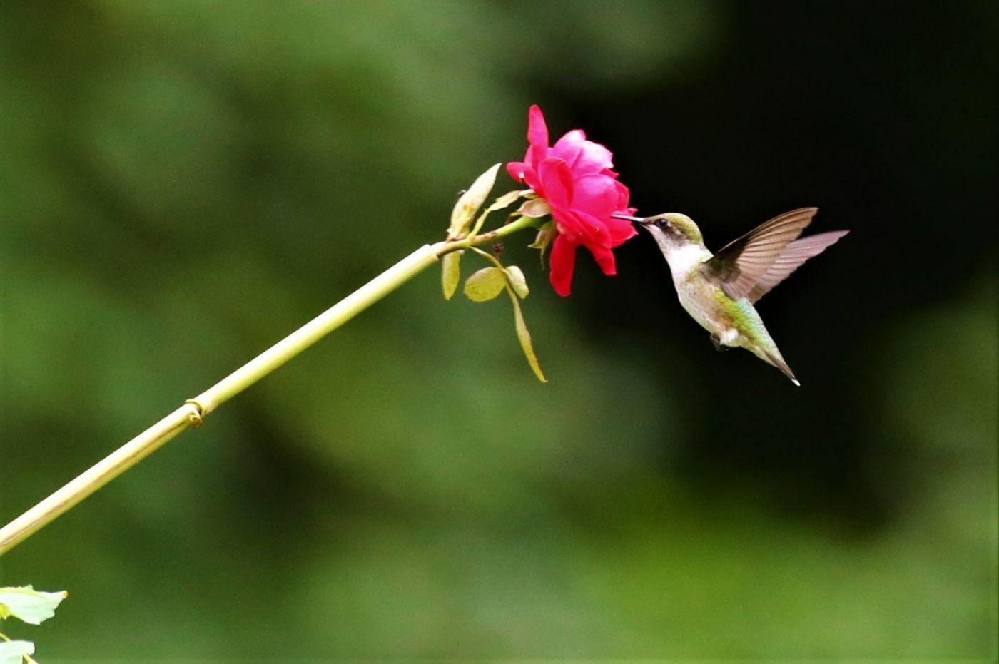 【爱摄影】追拍蜂鸟_图1-1