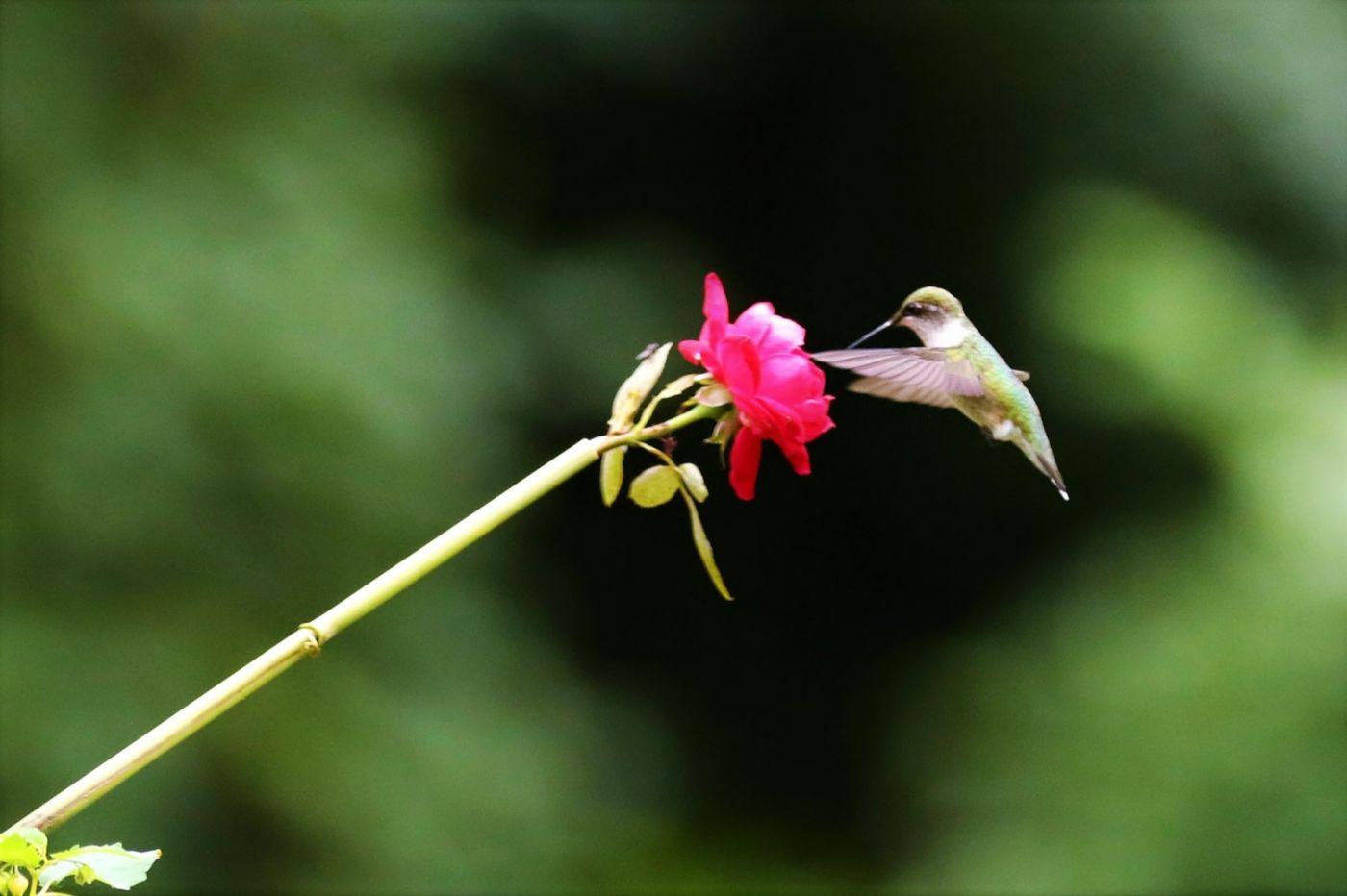 【爱摄影】追拍蜂鸟_图1-6