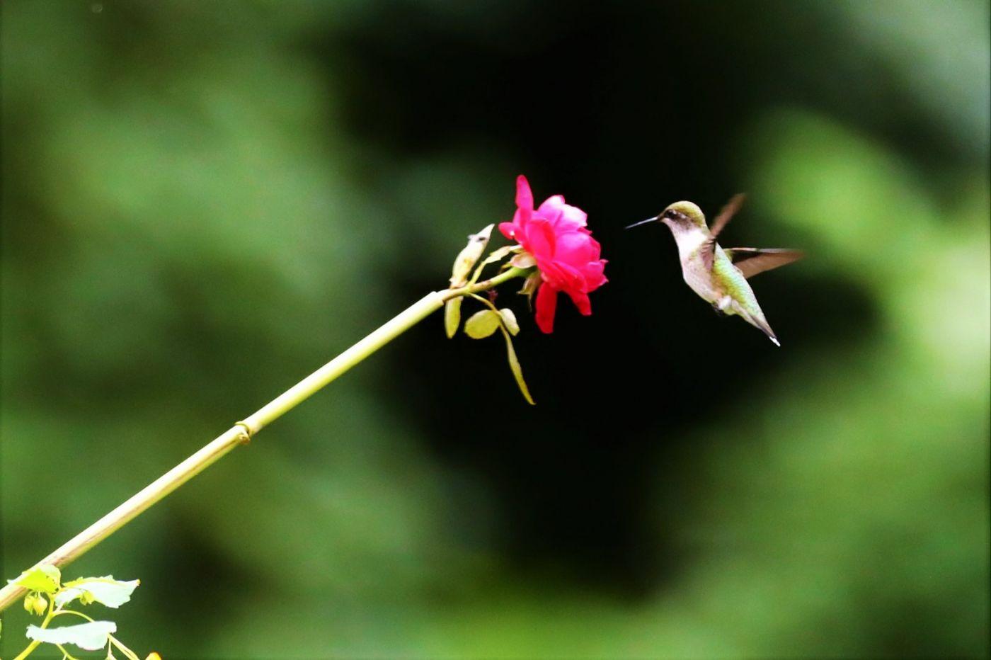 【爱摄影】追拍蜂鸟_图1-5