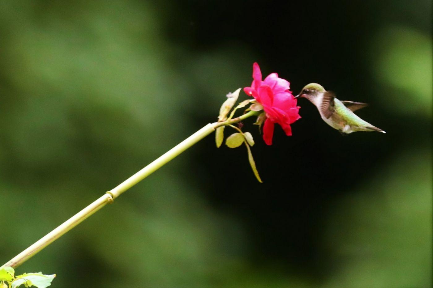 【爱摄影】追拍蜂鸟_图1-4