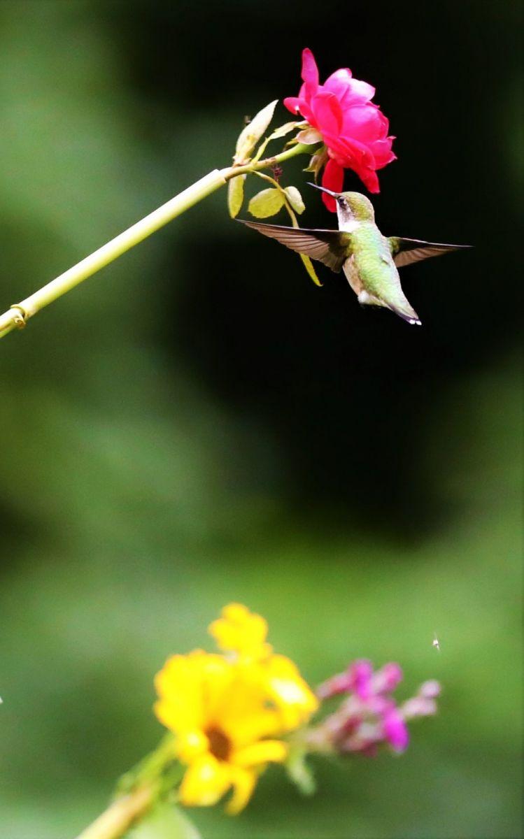 【爱摄影】追拍蜂鸟_图1-19