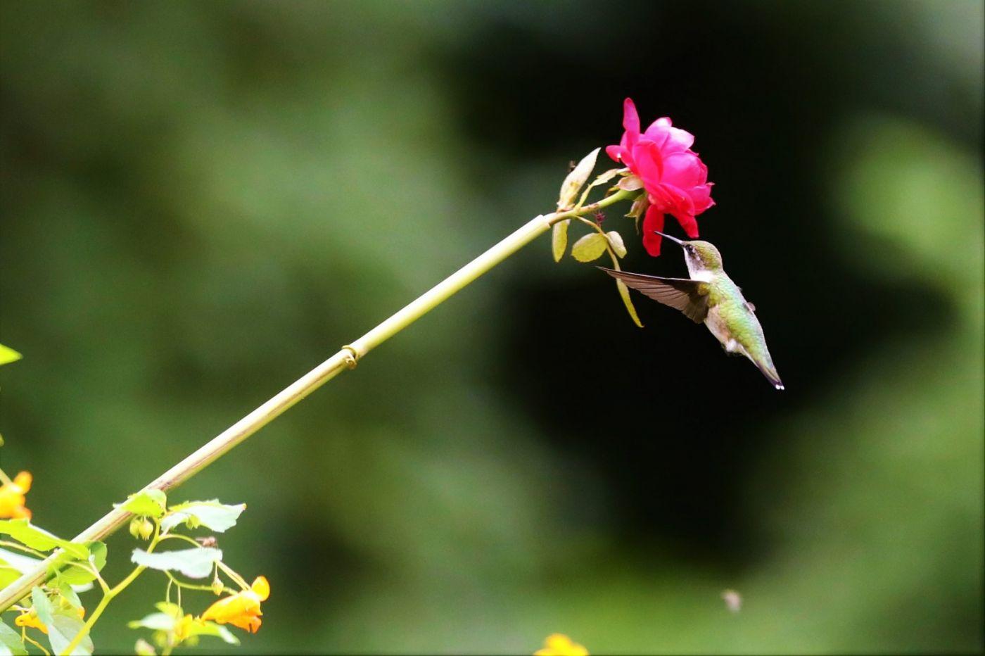 【爱摄影】追拍蜂鸟_图1-7