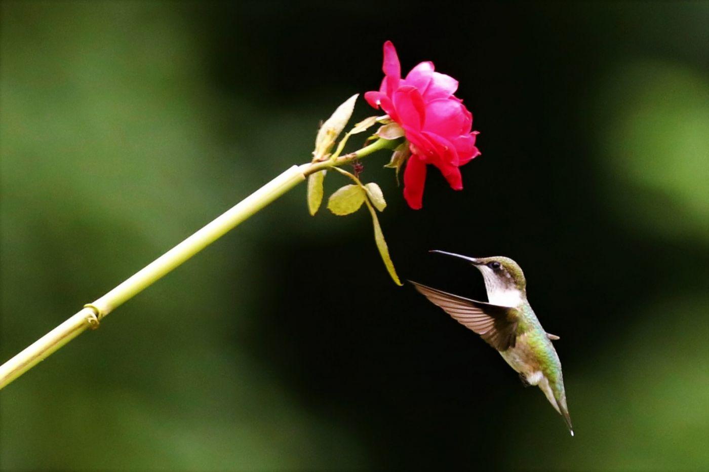 【爱摄影】追拍蜂鸟_图1-8