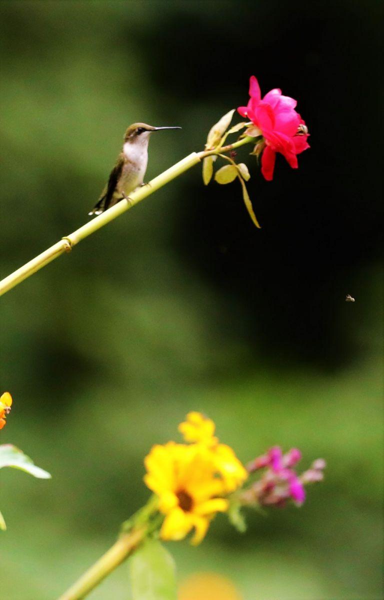 【爱摄影】追拍蜂鸟_图1-16