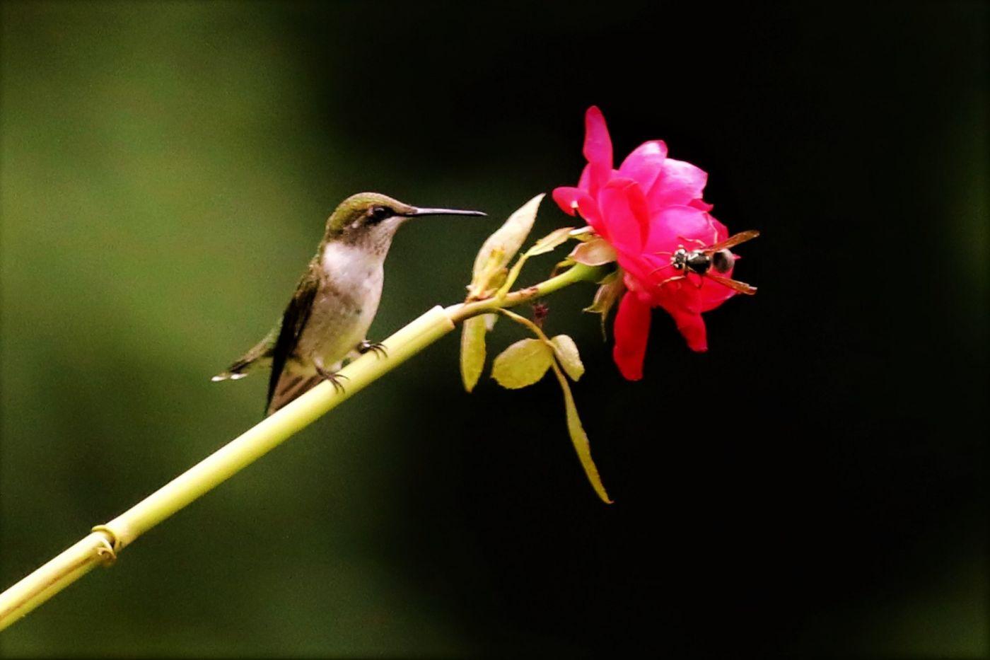 【爱摄影】追拍蜂鸟_图1-11