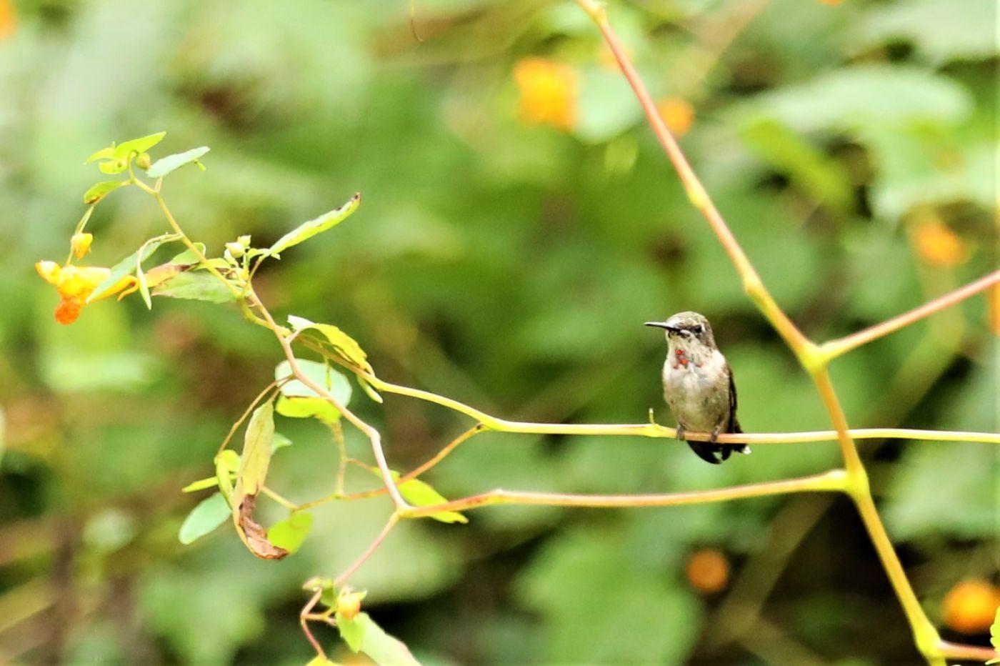 【爱摄影】追拍蜂鸟_图1-12