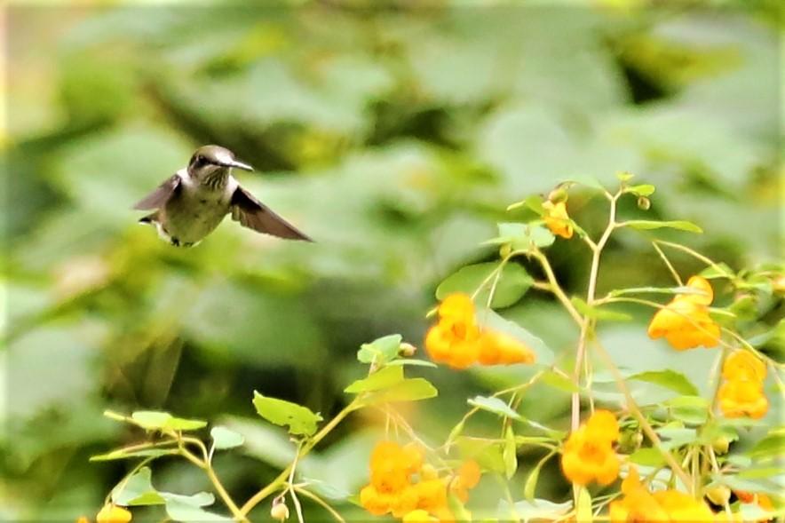 【爱摄影】追拍蜂鸟_图1-15