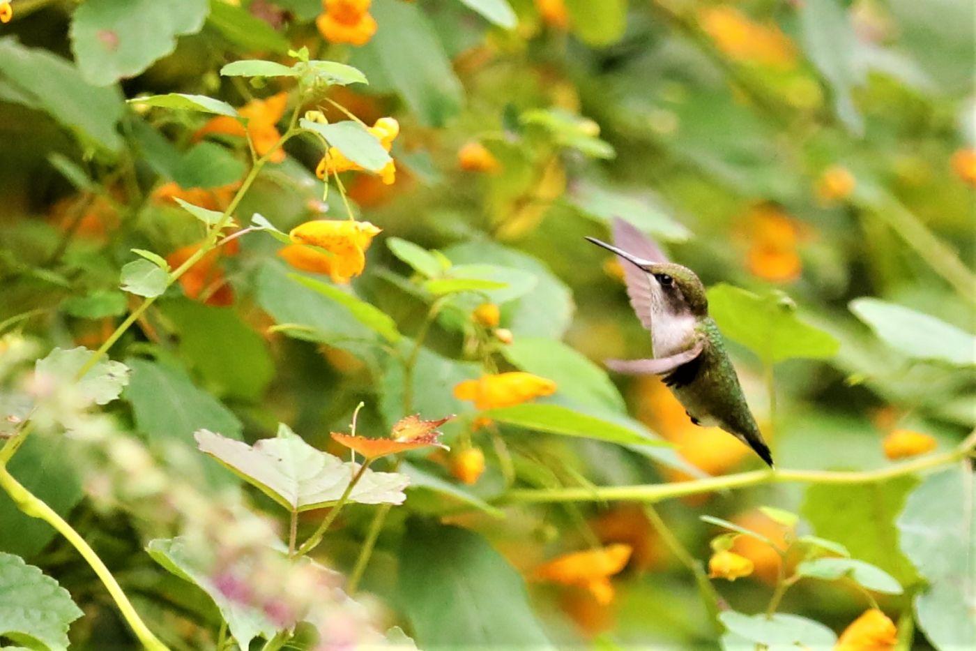 【爱摄影】追拍蜂鸟_图1-14