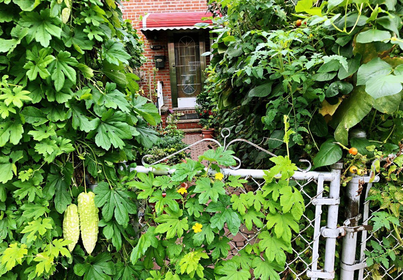 【田螺随拍】路边窗前的小菜园子_图1-4