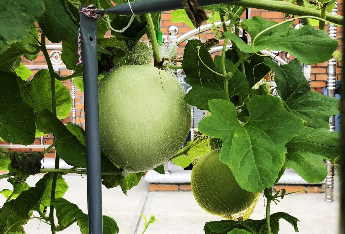 【田螺随拍】路边窗前的小菜园子_图1-11