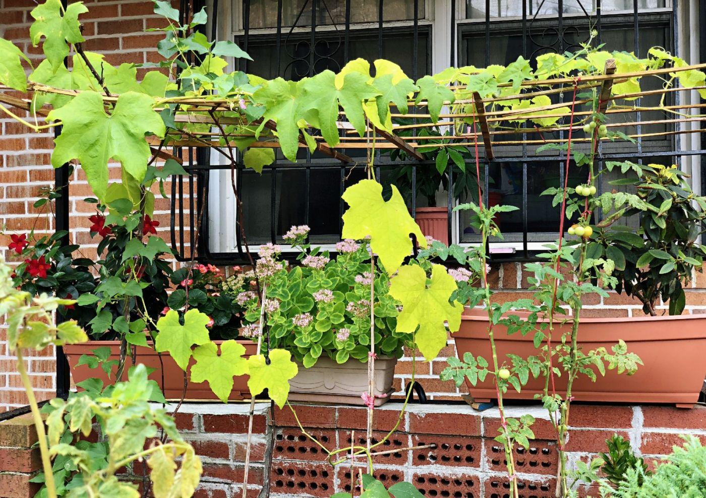 【田螺随拍】路边窗前的小菜园子_图1-12