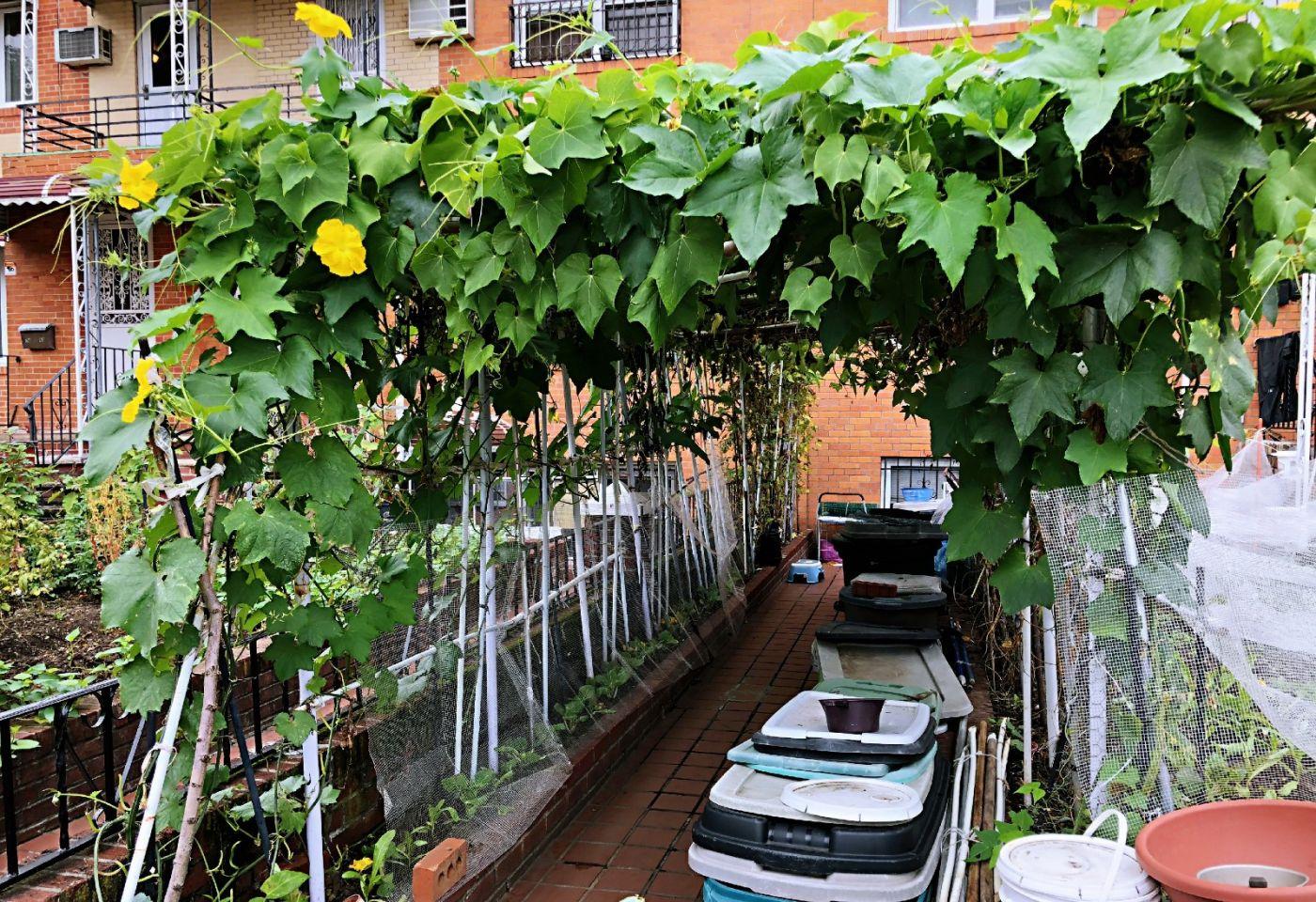 【田螺随拍】路边窗前的小菜园子_图1-15