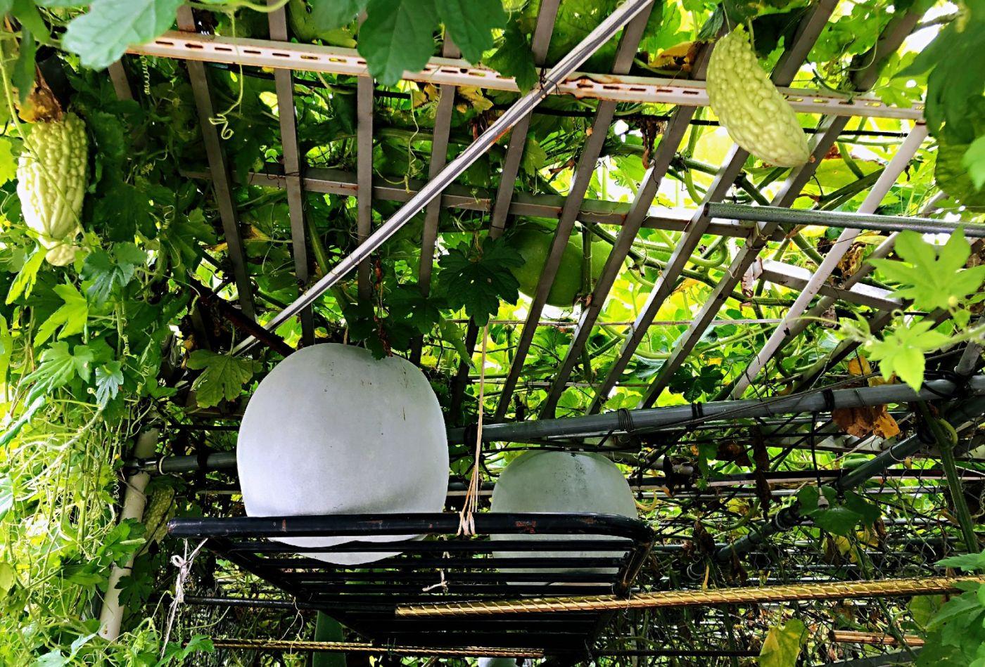 【田螺随拍】路边窗前的小菜园子_图1-14