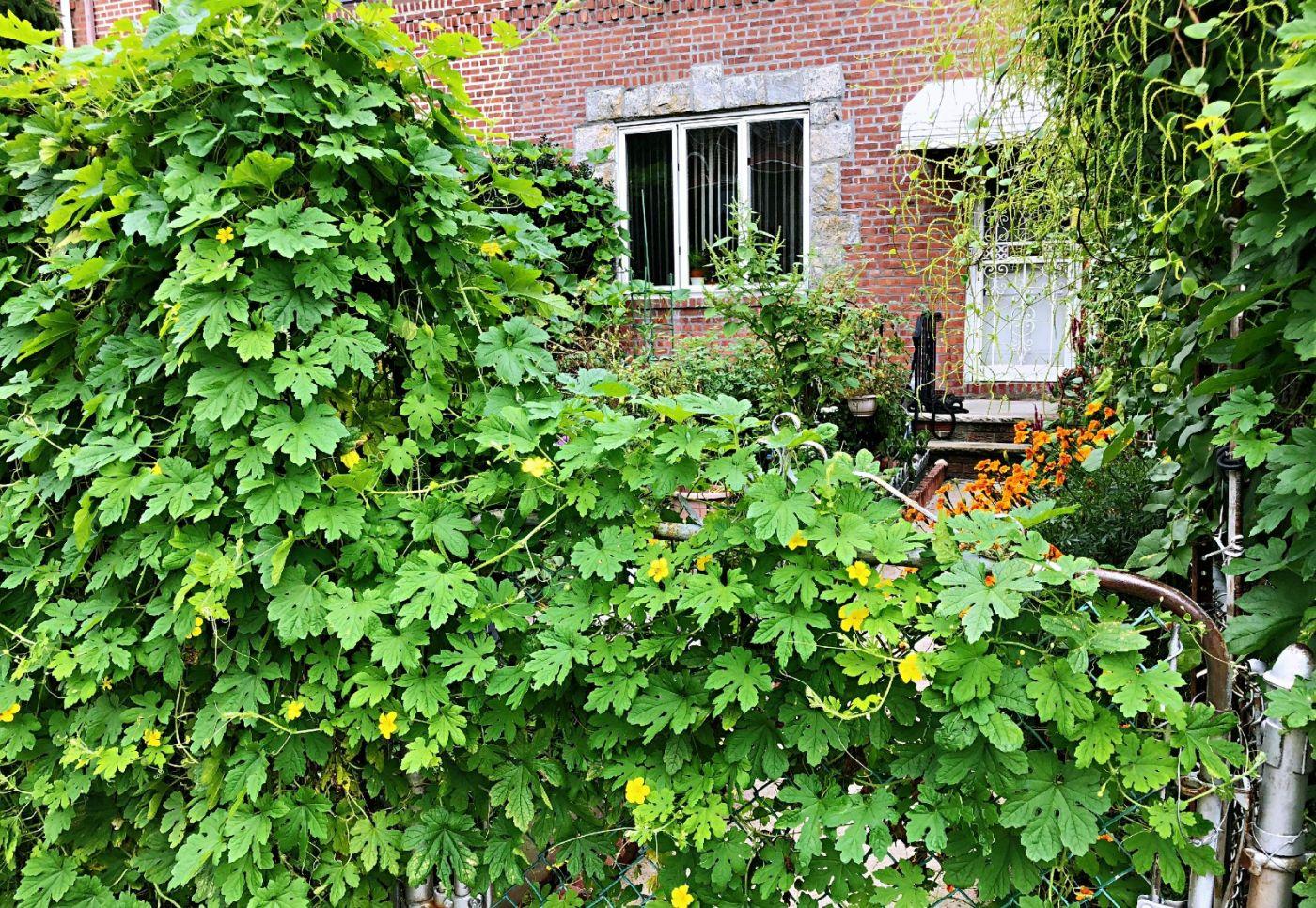 【田螺随拍】路边窗前的小菜园子_图1-30