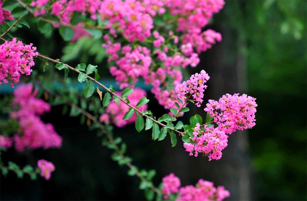 紫薇进入第二次盛花期_图1-1
