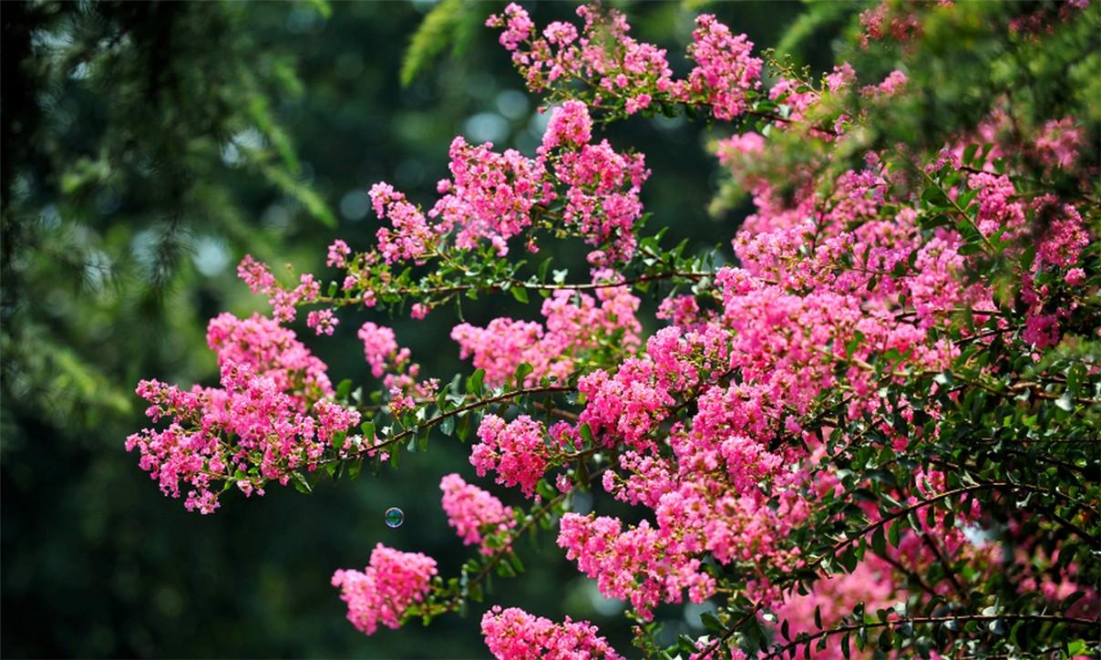 紫薇进入第二次盛花期_图1-2