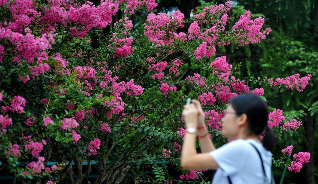 紫薇进入第二次盛花期_图1-3