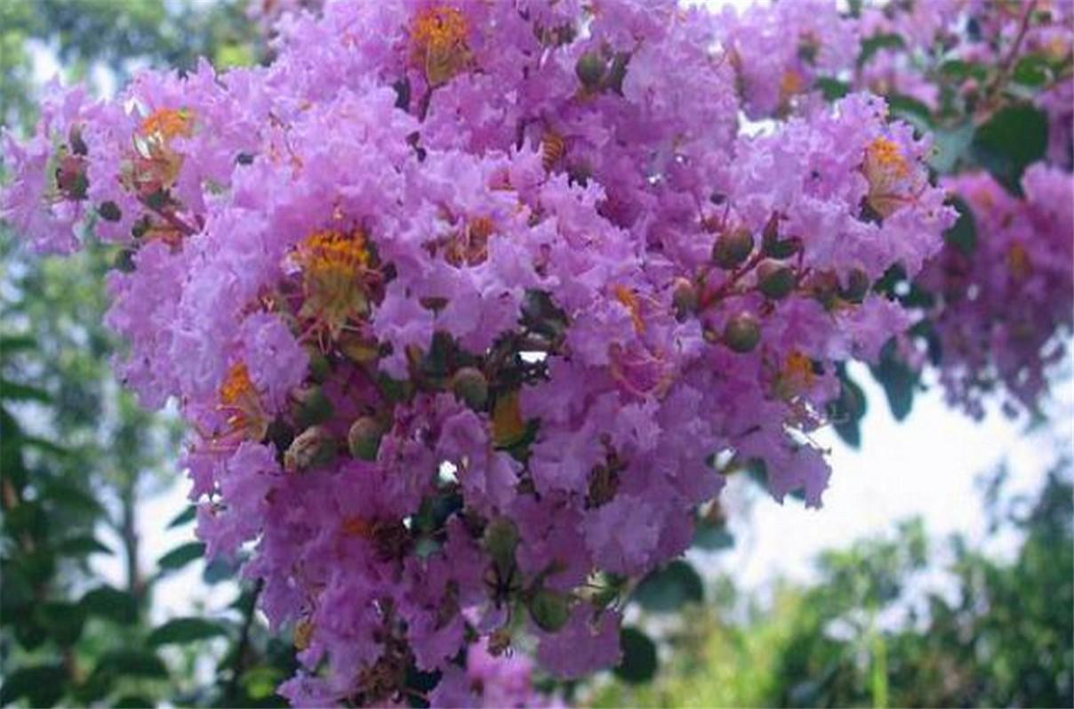 紫薇进入第二次盛花期_图1-5