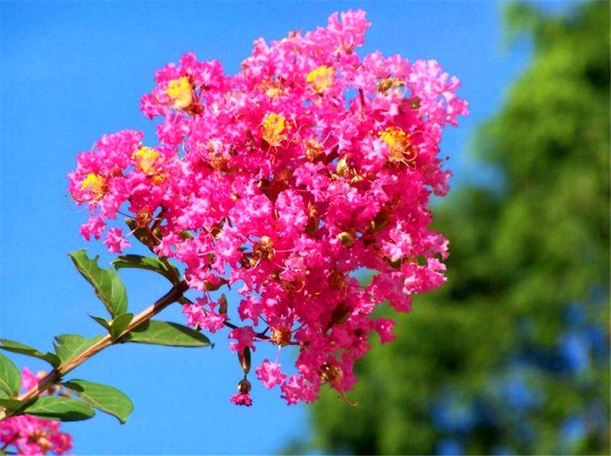 紫薇进入第二次盛花期_图1-6