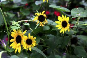 凯辛娜公园的向日葵很美