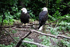 猫头鹰,白头鹰——摄于皇后区