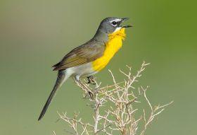 比格霍恩盆地的小鸟
