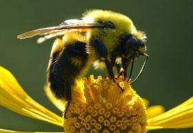 后院大黄蜂