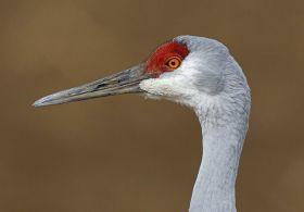 新墨西哥州的沙丘鹤