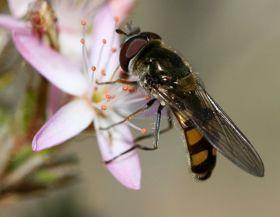 后院食蚜蝇