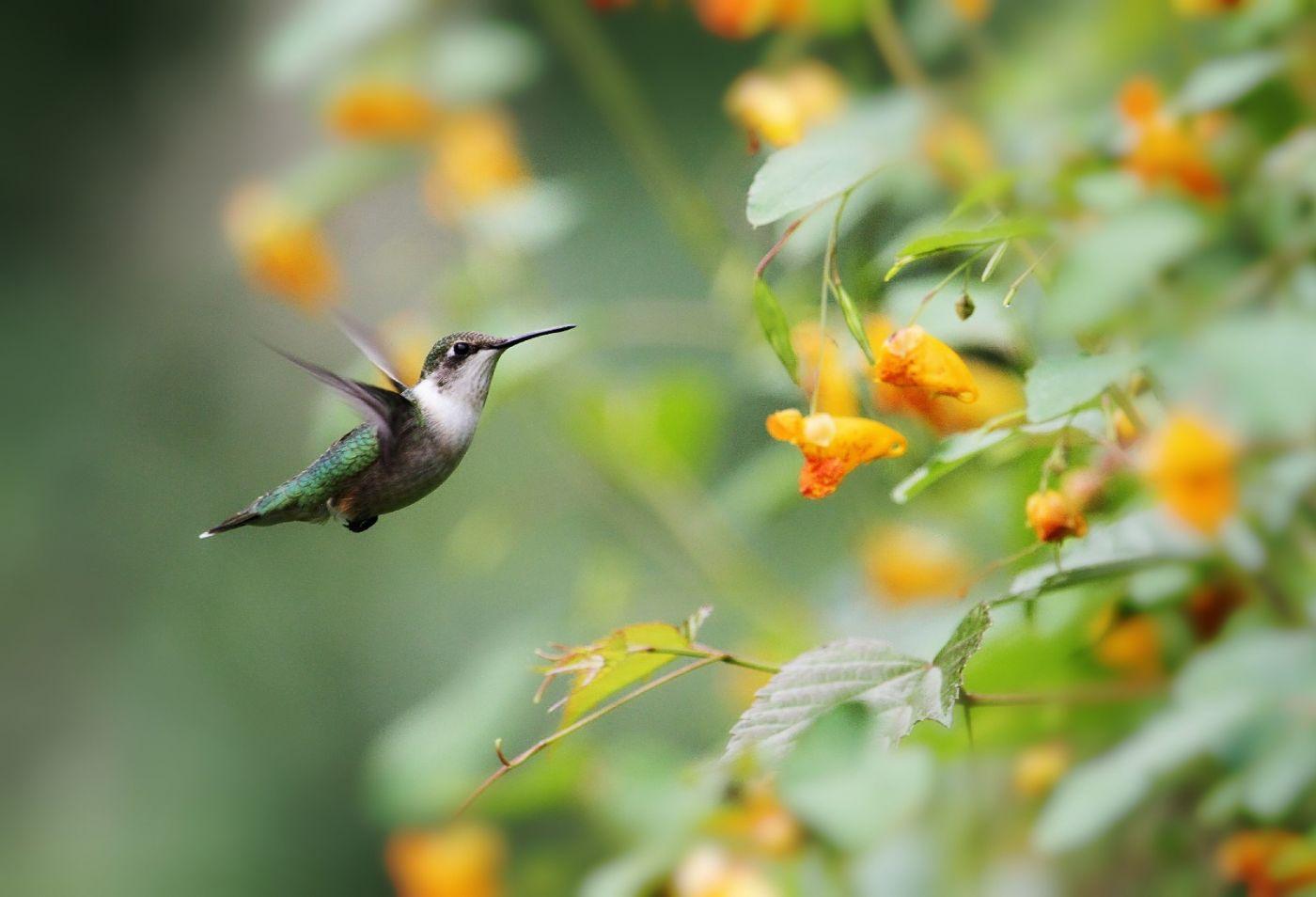 【田螺摄影】在纽约city找蜂鸟拍不难_图1-4