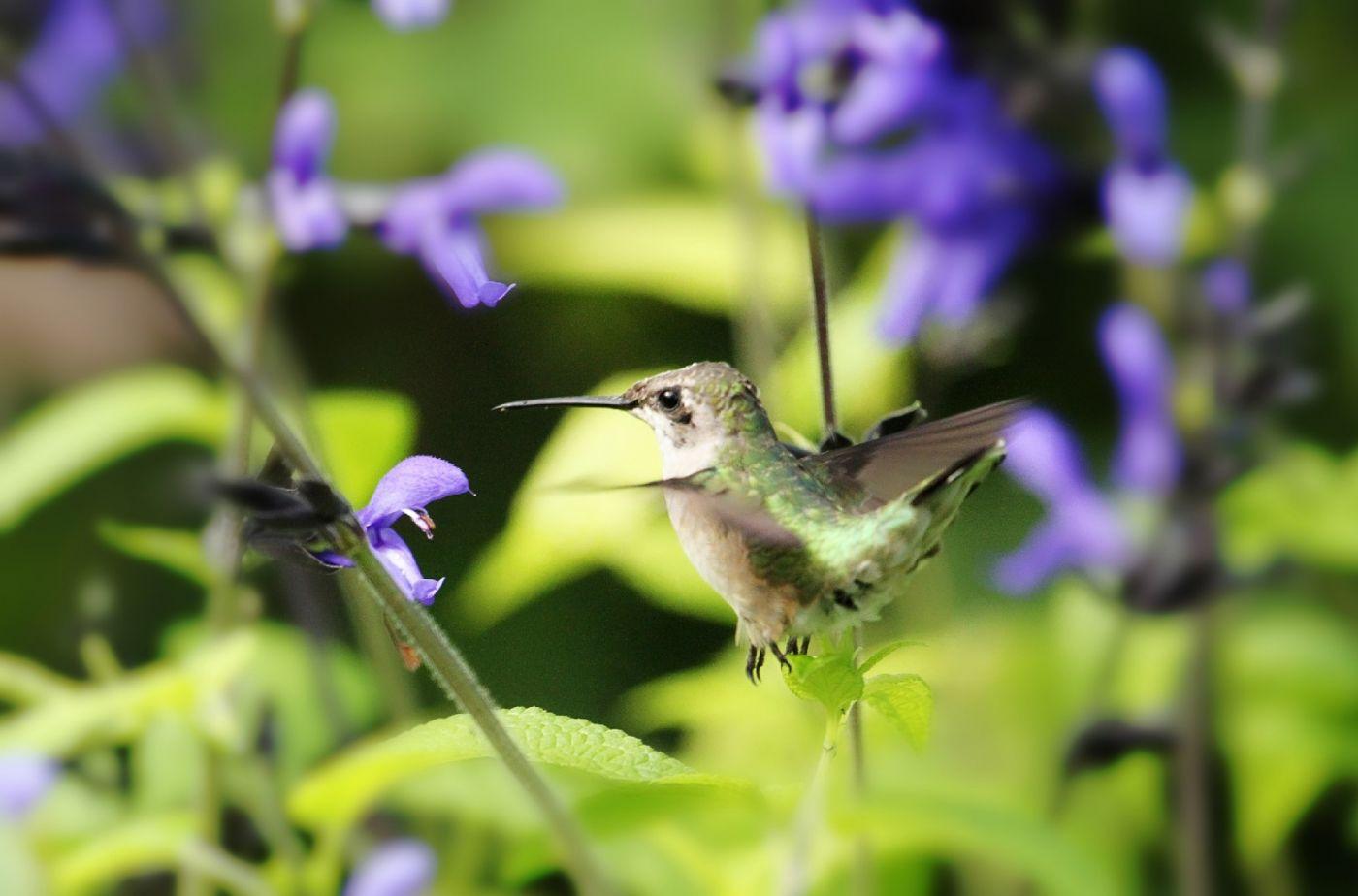 【田螺摄影】在纽约city找蜂鸟拍不难_图1-7