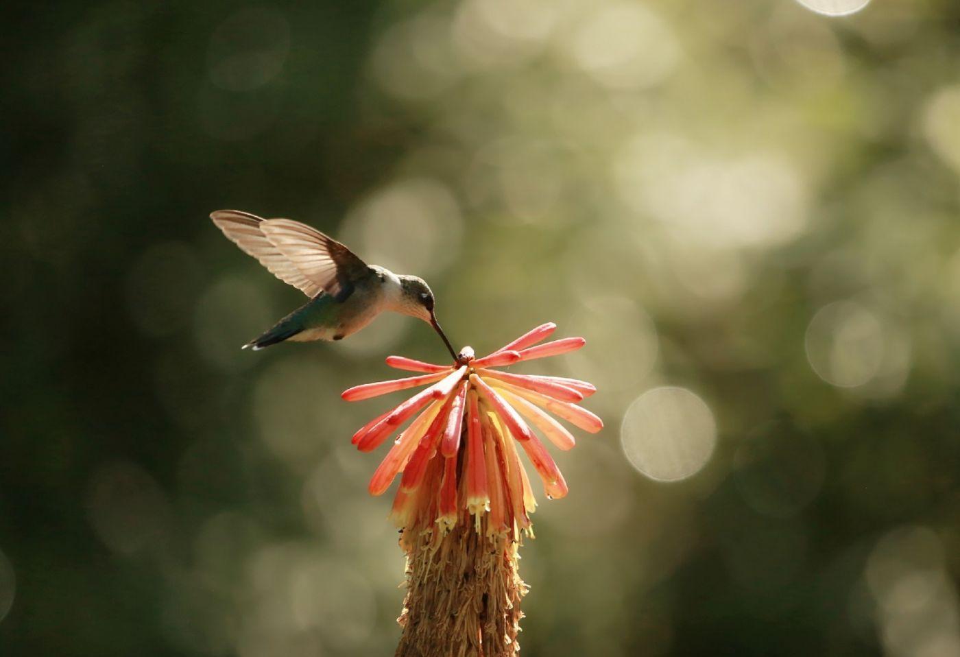 【田螺摄影】在纽约city找蜂鸟拍不难_图1-18