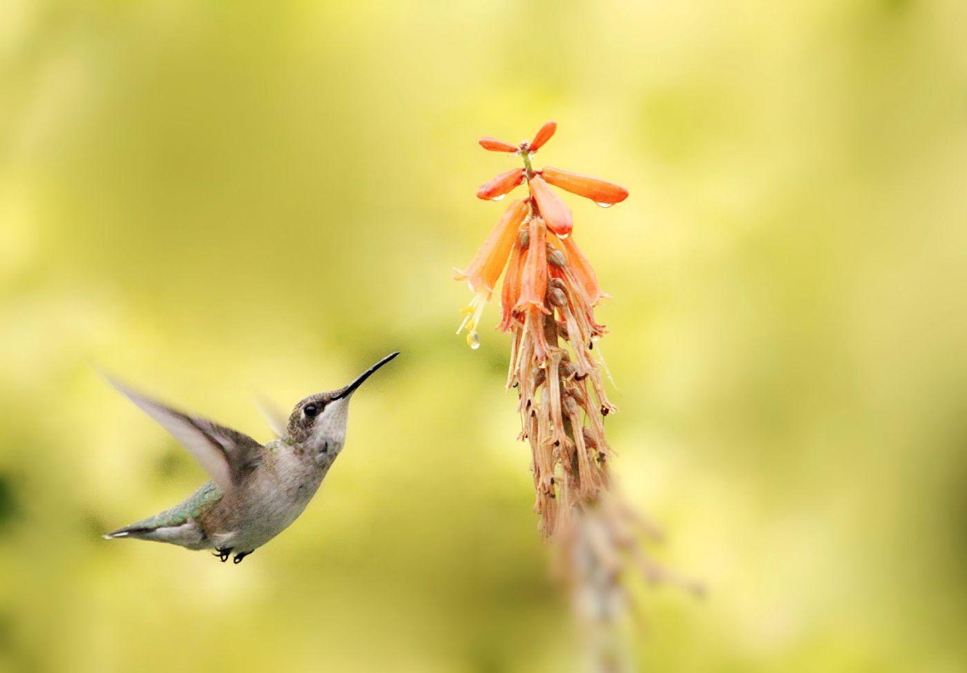 【田螺摄影】在纽约city找蜂鸟拍不难_图1-16