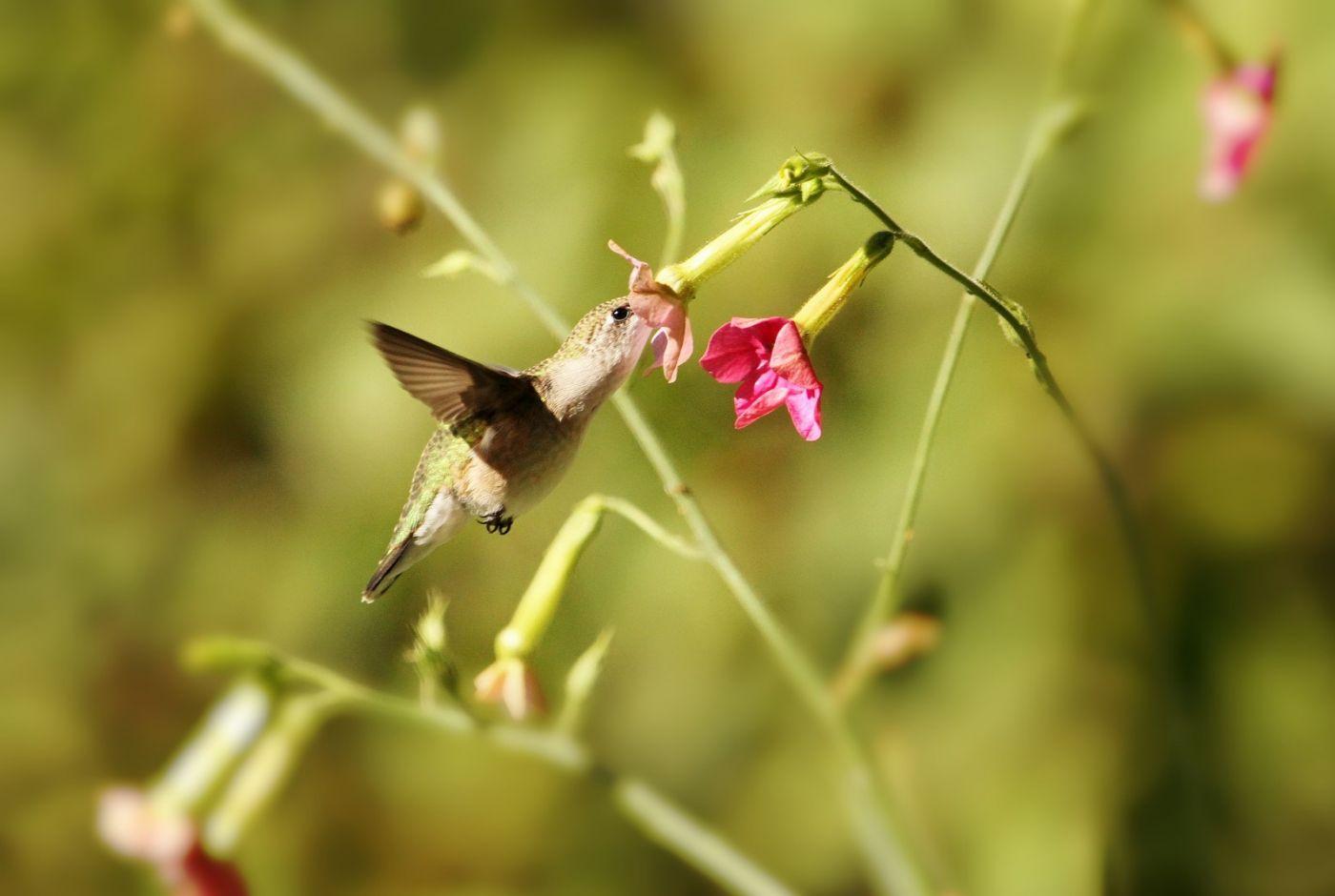 【田螺摄影】在纽约city找蜂鸟拍不难_图1-20