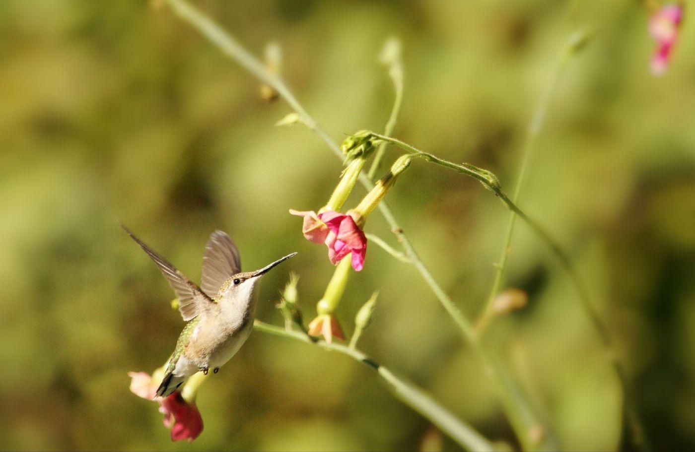 【田螺摄影】在纽约city找蜂鸟拍不难_图1-19
