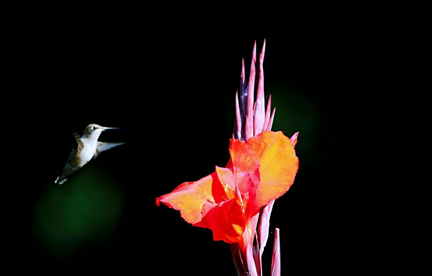 【田螺摄影】在纽约city找蜂鸟拍不难_图1-22
