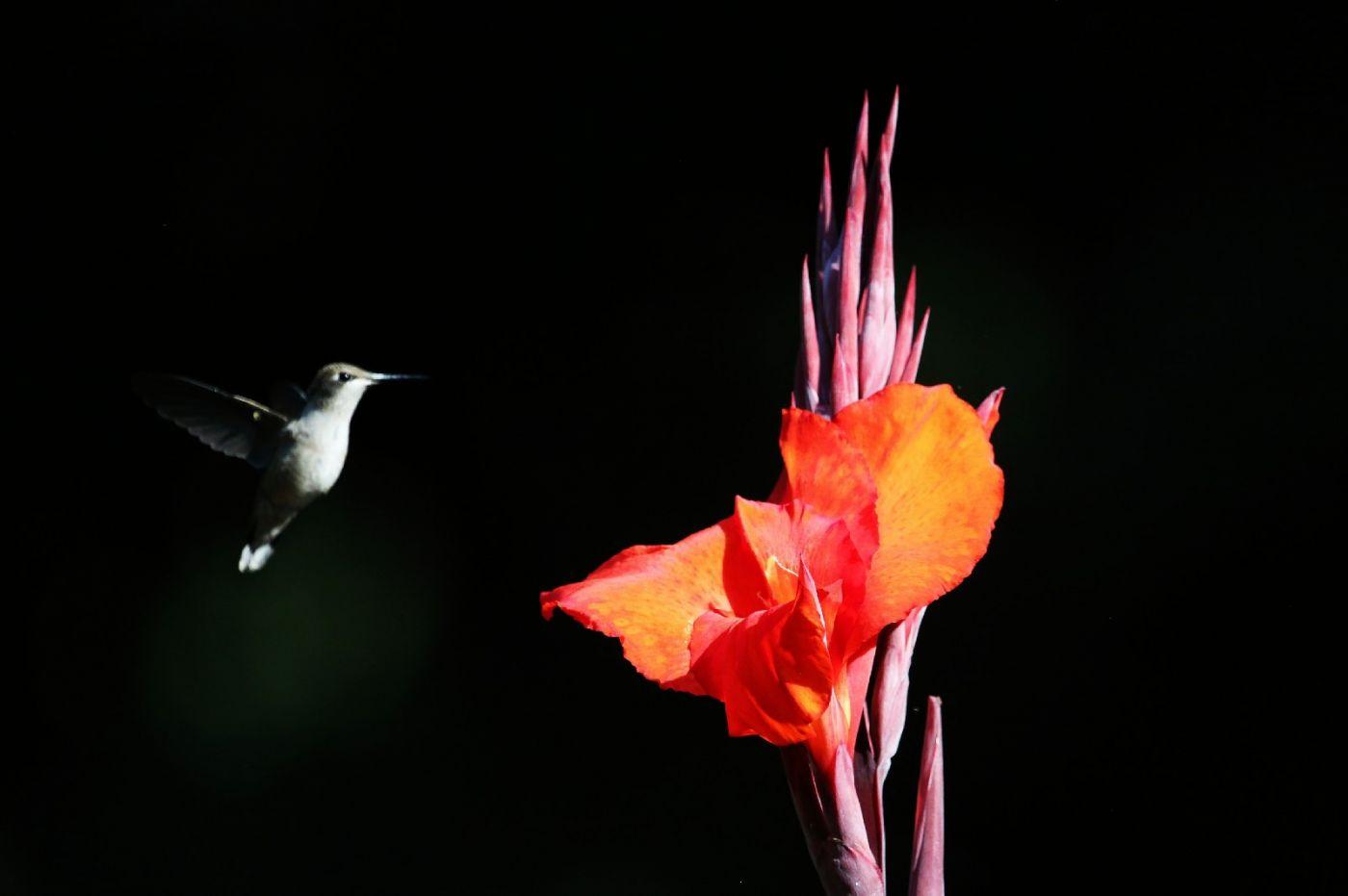 【田螺摄影】在纽约city找蜂鸟拍不难_图1-23
