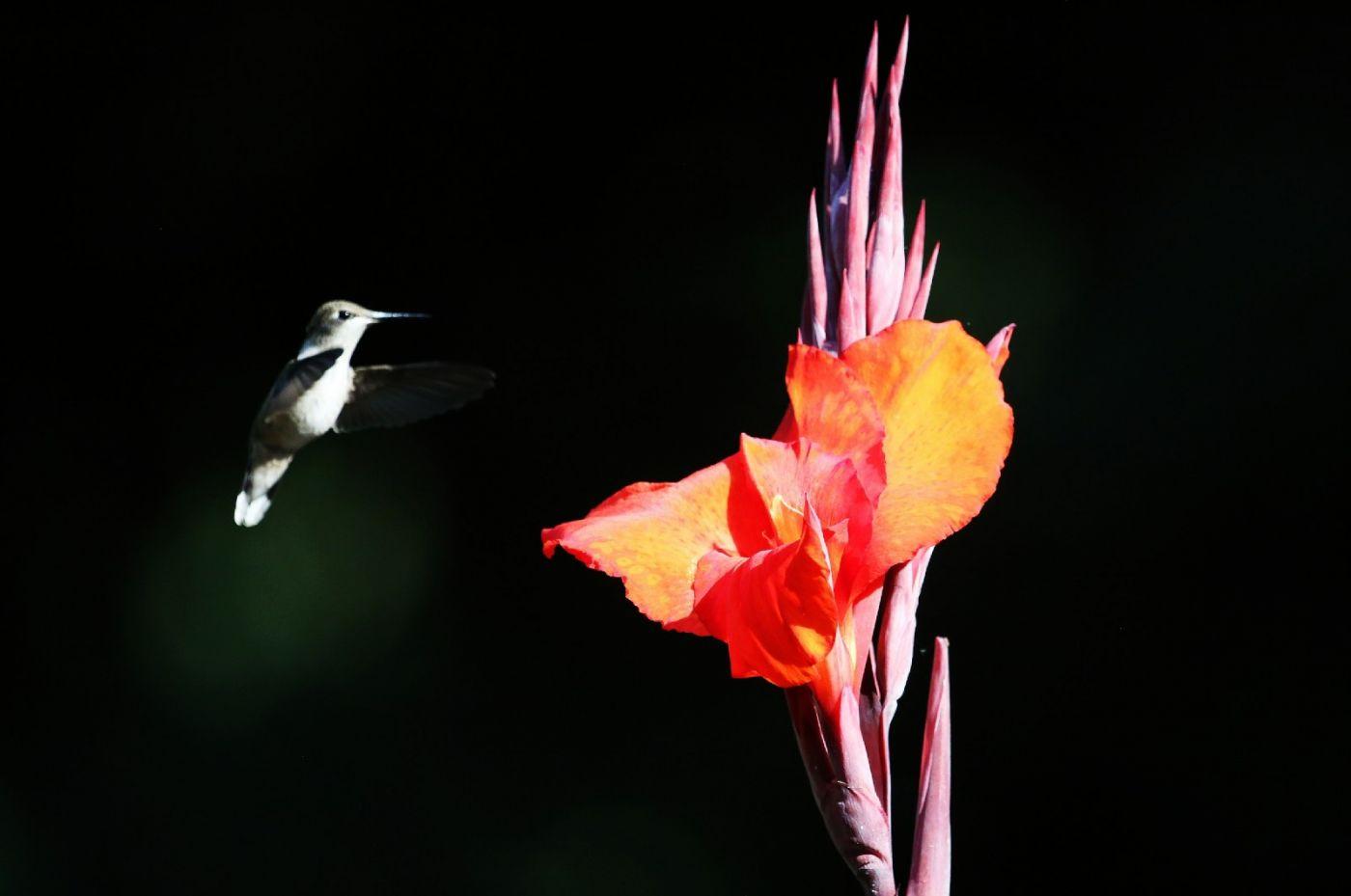 【田螺摄影】在纽约city找蜂鸟拍不难_图1-24