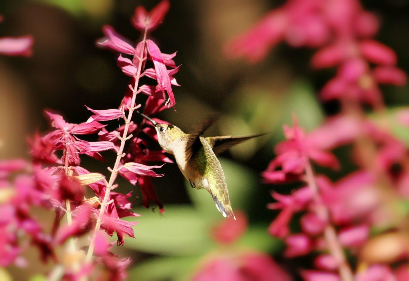 【田螺摄影】在纽约city找蜂鸟拍不难_图1-25