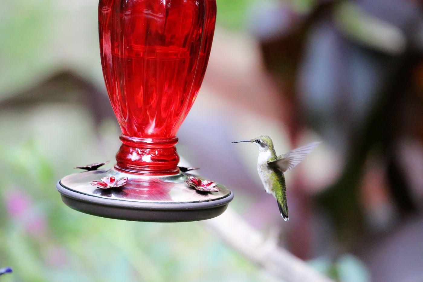 【田螺摄影】在纽约city找蜂鸟拍不难_图1-30
